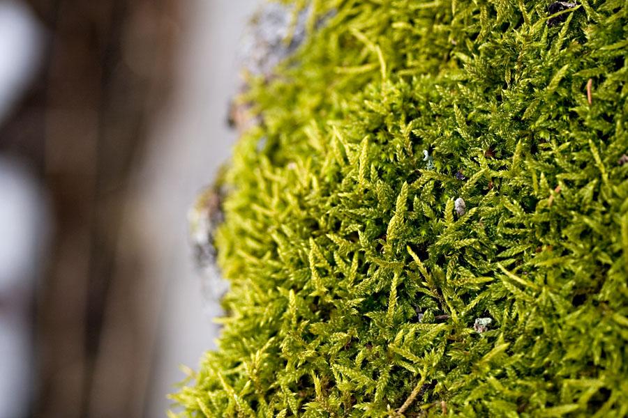 Metsäkerrossammalta (Hylocomium splendens)