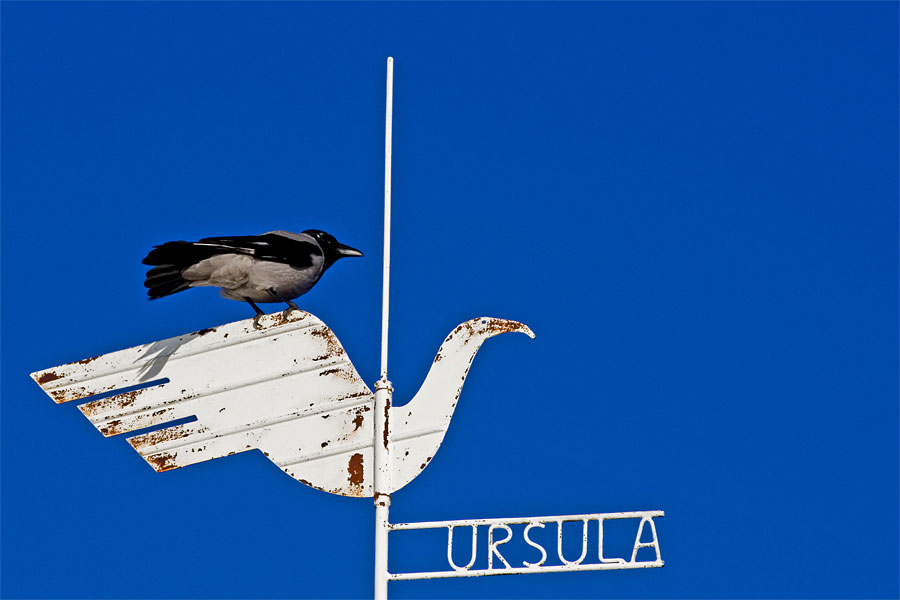 A magpie sitting on the weather vane of Ursula cafe