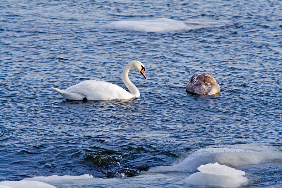 Swans in icy water