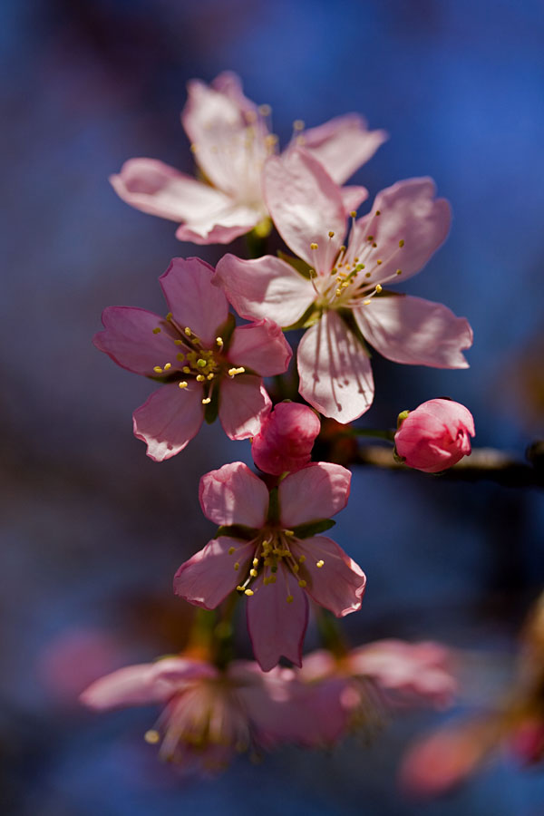 Flowers of a cherry tree