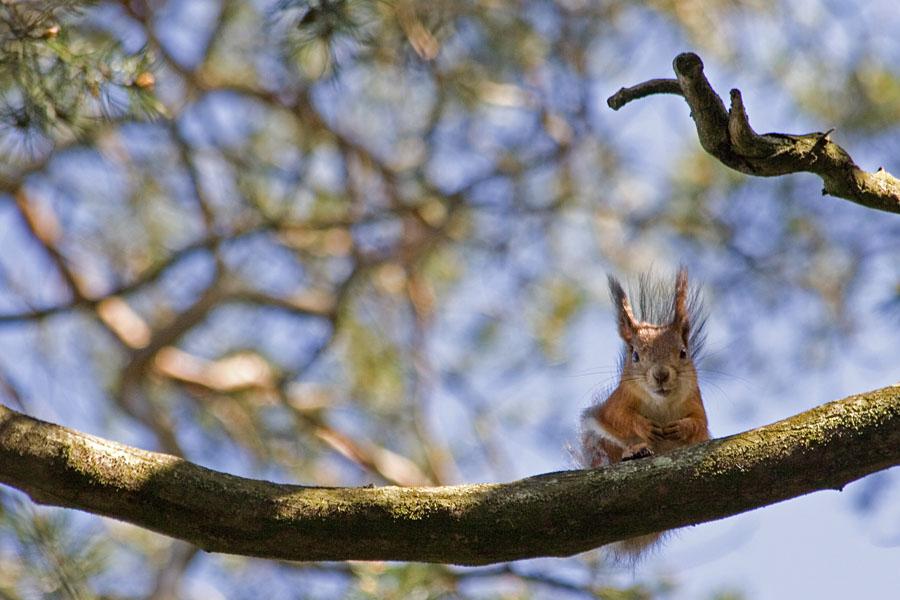 Orava kurkistaa oksalta