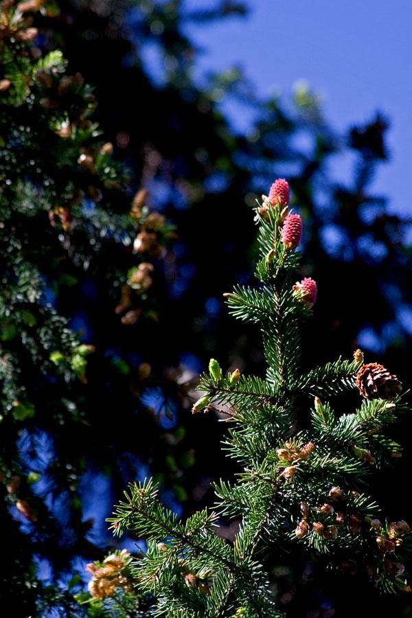 Red cones in a fir