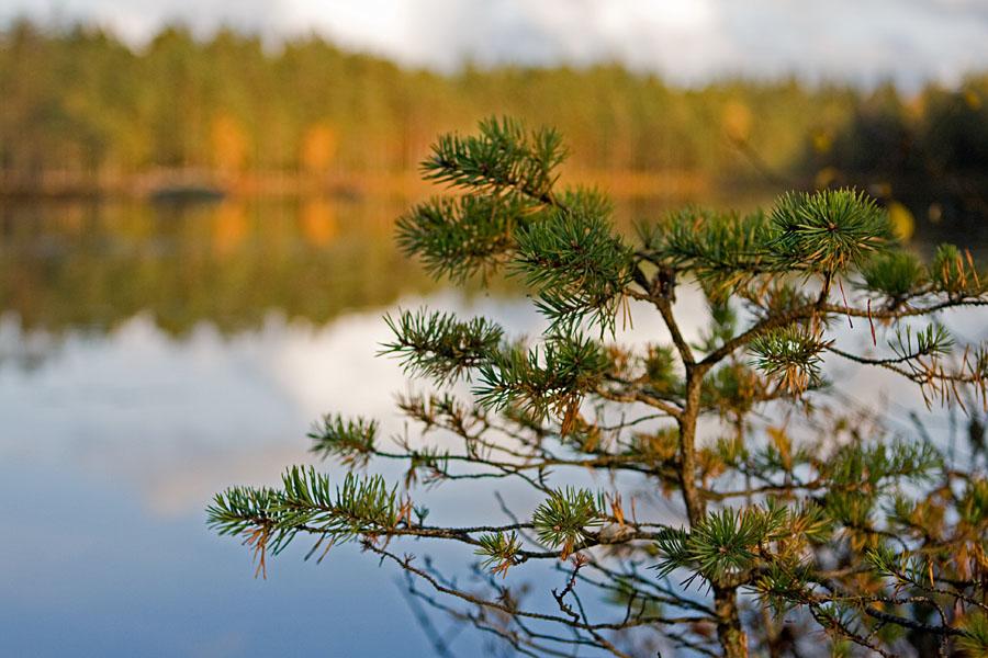 A pine at Iso Lehmälampi