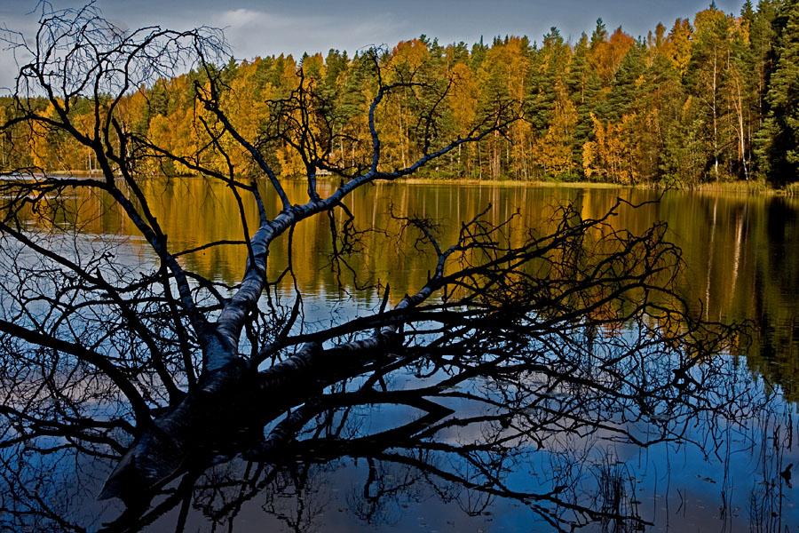 A fallen birch at Haukkalampi