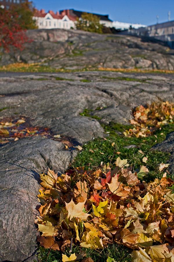 Vaahteran lehtiä kalliolla