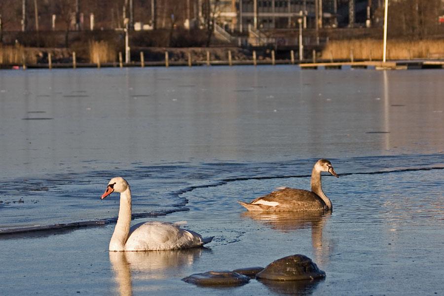 Swans at Eläintarhanlahti bay