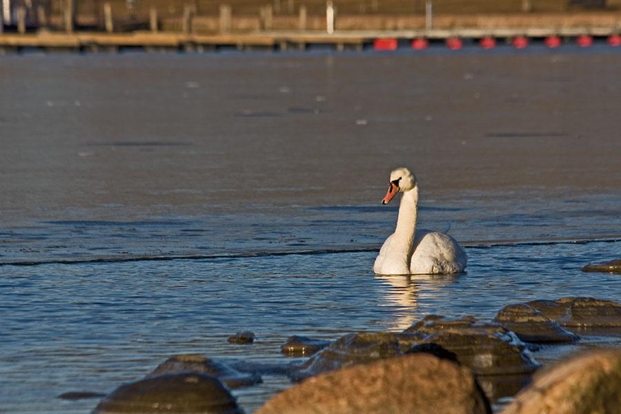A swan at Eläintarhanlahti bay