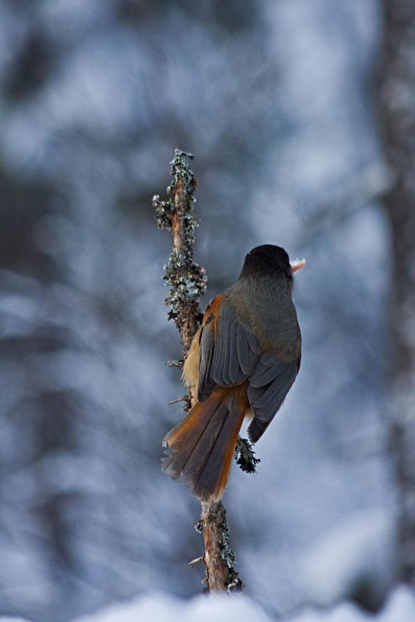 Siberian Jay (Perisoreus infaustus)