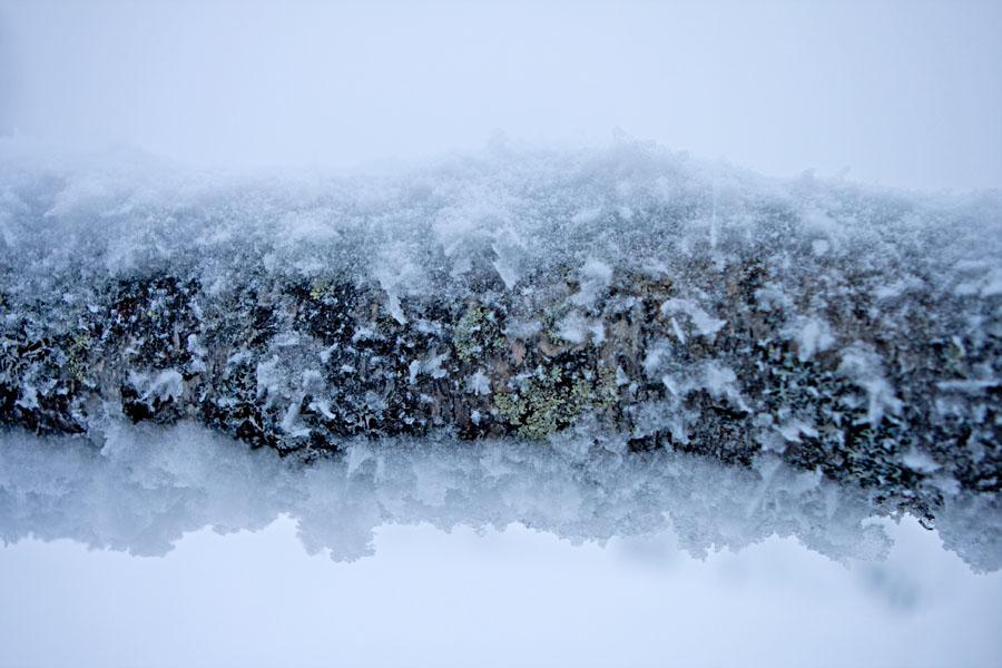 Kaatunut luminen koivu