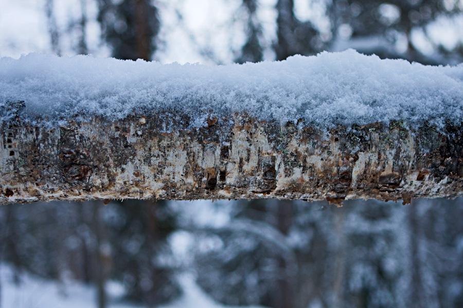 A fallen birch