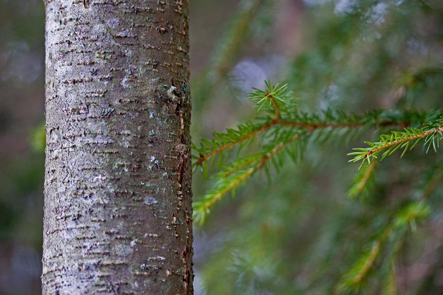 Puuta kahta lajia