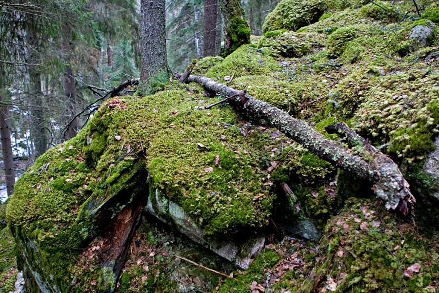 Sammalen peittämiä kallioita