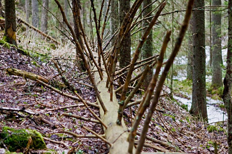 Kaatunut puu