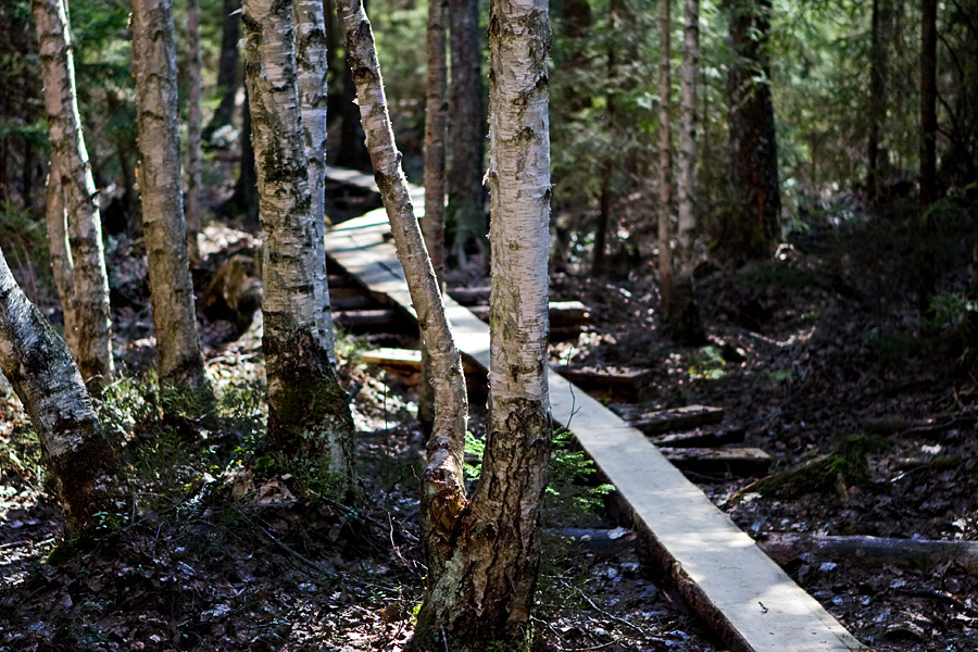 Birches and duckboards