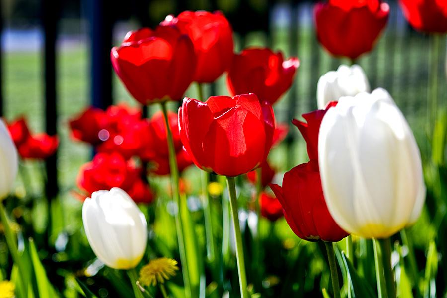 Punaisia ja valkoisia tulppaaneja
