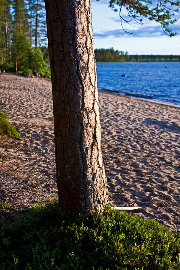 A pine at Venäjänhiekka beach