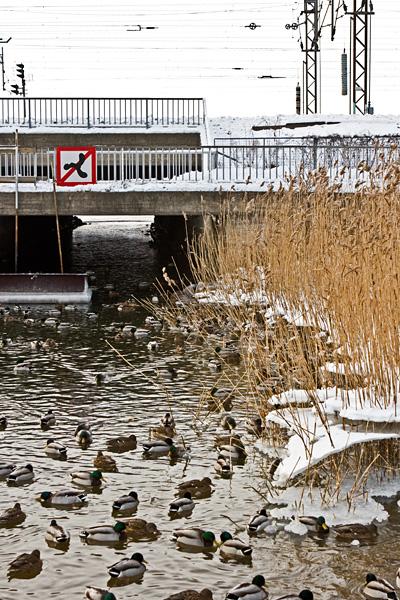 Ducks at Eläintarhanlahti